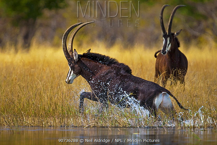 Sable antelope (Hippotragus niger) bull charging through the shallows of the Selinda Spillway, with another behind,  northern Botswana, August.