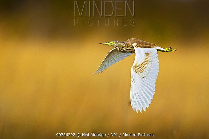 Squacco heron (Ardeola ralloides) flying over reedbeds, Selinda Spillway, northern Botswana. August.