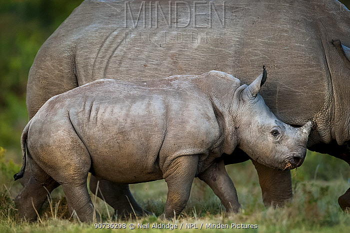 White rhinoceros (Ceratotherium simum) calf keeping close to its mother on Kariega Game Reserve, South Africa.