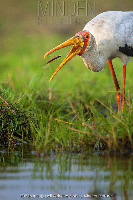 Yellow-billed stork (Mycteria ibis) catching a young barbel or catfish in the shallows of the Chobe River, Chobe National Park, Botswana.