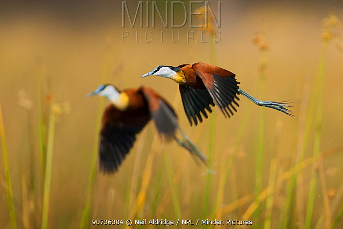 Two adult African jacanas (Actophilornis africanus) flying over reedbeds, Selinda Spillway, northern Botswana.