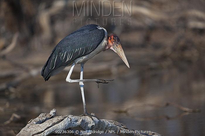 Marabou stork (Leptoptilos crumeniferus) standing on one leg, Okavango Delta,  northern Botswana.