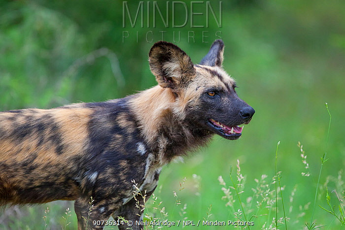An African wild dog (Lycaon pictus) stands alert on a summer morning in the southern region of South Africa's Kruger National Park. The African wild dog is classified as endangered by the IUCN and is in decline.