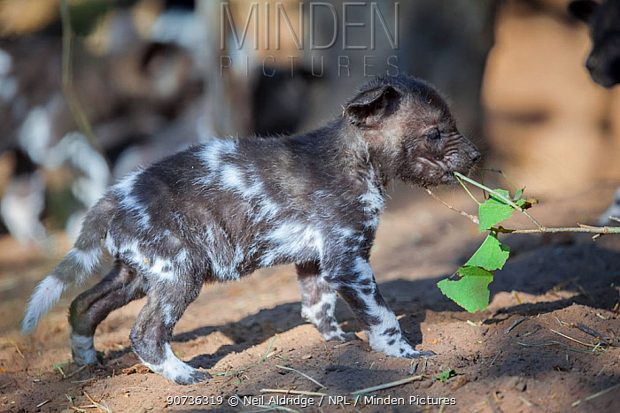 African wild dog (Lycaon pictus) baby chewing on a branch. Mashatu Game Reserve, Botswana.