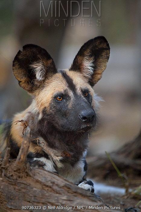 African wild dog (Lycaon pictus) resting, Mashatu Game Reserve, Botswana.