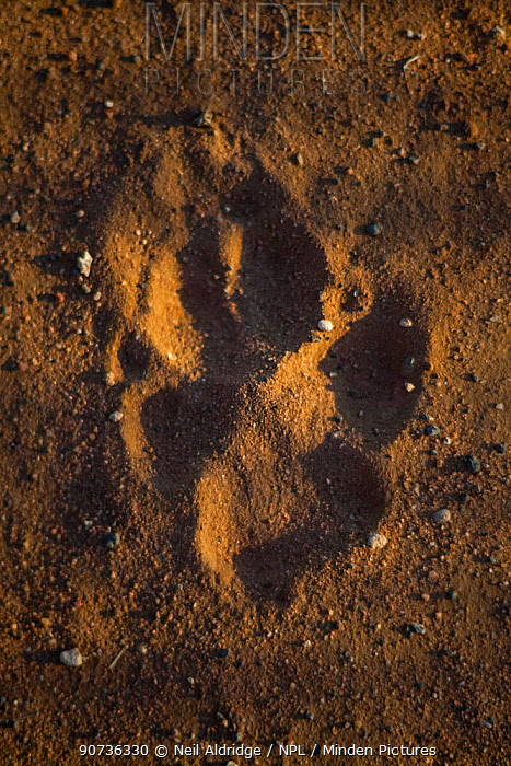 Footprint of a free-roaming African Wild Dog (Lycaon pictus) in sand on farmland bordering Mapungubwe National Park, Limpopo Province, South Africa.