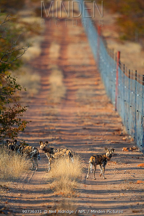 African wild dogs (Lycaon pictus) walking along a fence line on Venetia Limpopo Reserve,South Africa.