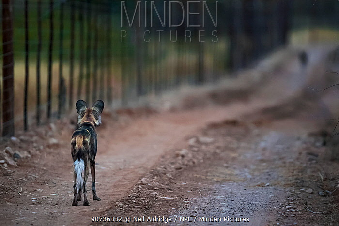African wild dog (Lycaon pictus) staring at another animal along a fenceline on Venetia Limpopo Reserve, Limpopo Province, South Africa.. In South Africa, predator-proof fences have been responsible for restricting natural movements of dogs between breeding populations, thereby leading to restricted genetic diversity amongst packs.
