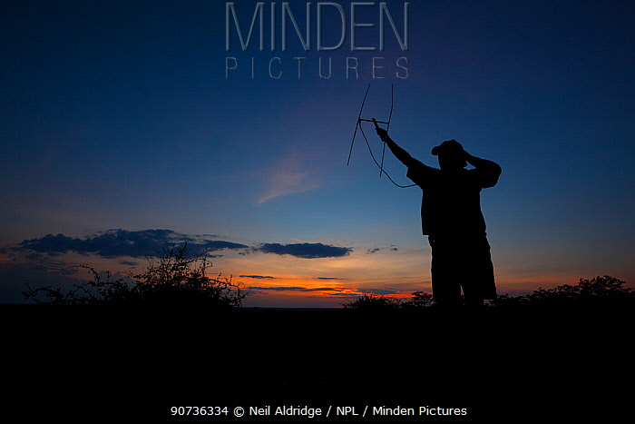 A researcher from the Endangered Wildlife Trust uses radio telemetry equipment to track African wild dogs (Lycaon pictus) at dusk on Venetia Limpopo Nature Reserve, South Africa.  February 2010.