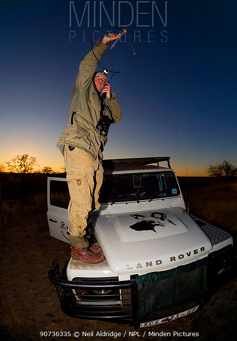 A researcher from the Endangered Wildlife Trust stands on a Land Rover while tracking African wild dogs (Lycaon pictus) using radio telemetry equipment on Venetia Limpopo Nature Reserve, South Africa.  February 2010.