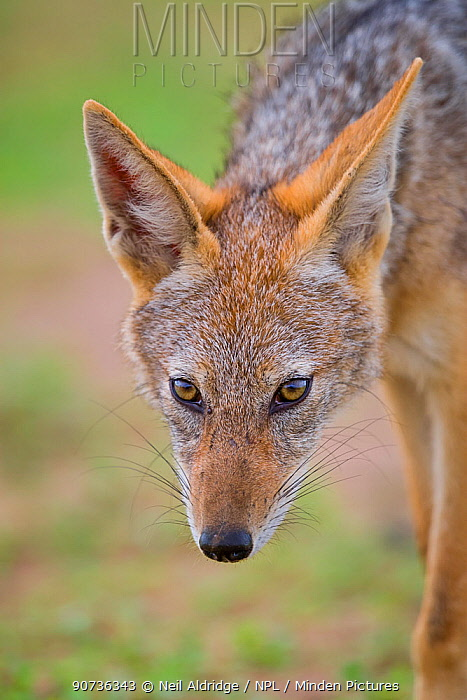 Portrait of a Black-backed jackal (Canis mesomelas) during summer on the open plains of Mapungubwe National Park, South Africa.