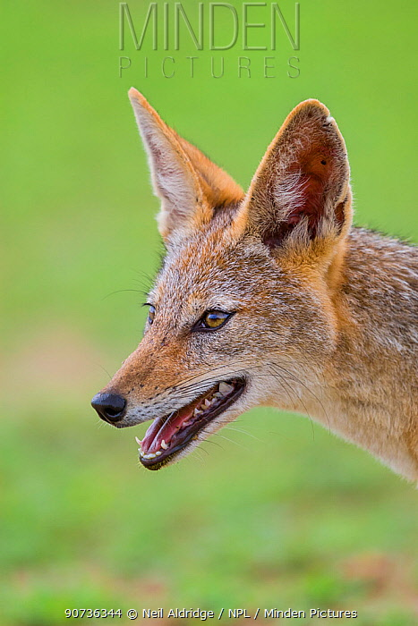 Portrait of a Black-backed Jackal (Canis mesomelas) during summer on the open plains, Mapungubwe National Park, South Africa.