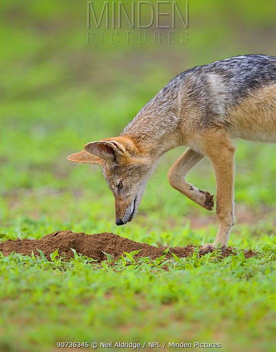 Black-backed jackal (Canis mesomelas) hunts for moles during summer on the open plains Mapungubwe National Park, South Africa.
