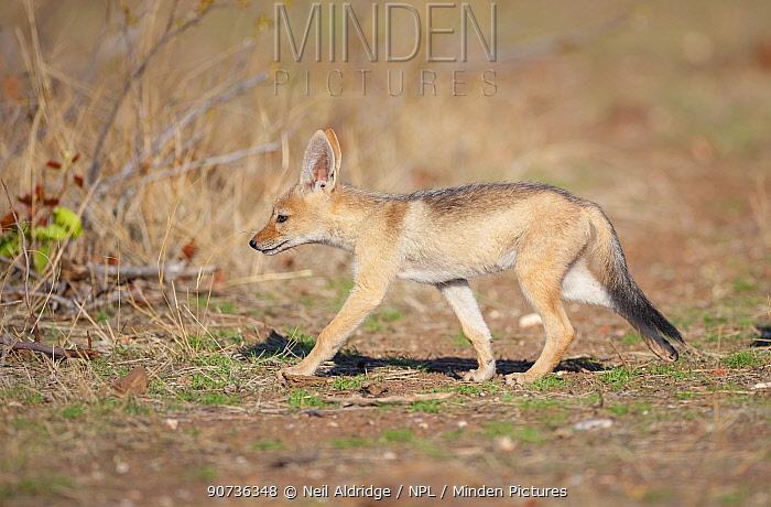 Black-backed Jackal (Canis mesomelas) pup walking back to its den, Mashatu Game Reserve, Tuli, Botswana.