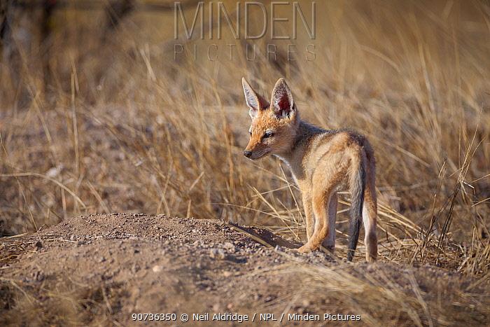 Black-backed jackal (Canis mesomelas) pup waits in evening light at its den on Mashatu Game Reserve, Tuli, Botswana.