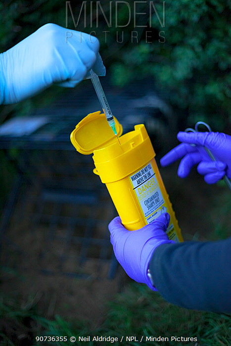 Defra Field Workers dispose of a used syringe as part of biosecurity measures after vaccinating a European Badger (Meles meles) during bovine tuberculosis (bTB) vaccination trials on farmland in Gloucestershire, United Kingdom. June.