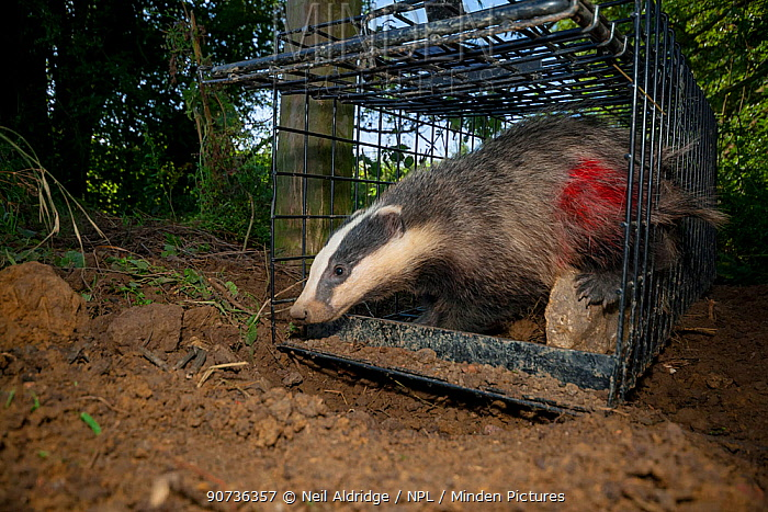 European Badger (Meles meles) exiting a cage trap after being vaccinated and marked with spray paint by Defra field workers during bovine tuberculosis (bTB) vaccination trials in Gloucestershire, United Kingdom.