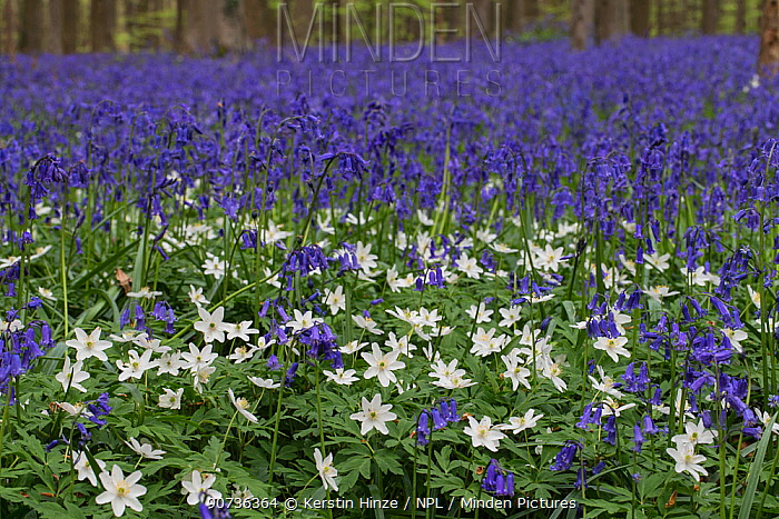 Bluebells (Hyacinthoides non-sripta) with Wood anemone (Anemone nemorosa) flowering in beech forest, Hallerbos,  Vlaams-Brabant, Belgium, April.