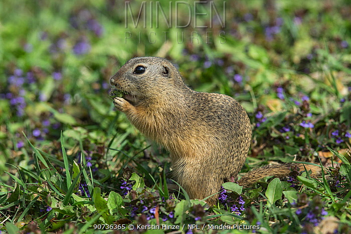European ground squirrel (Spermophilus citellus), foraging, Vienna, Austria