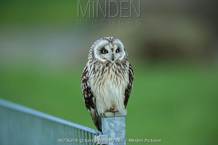 Short-eared Owl (Asio flammeus), on fence, Cuxhaven, Lower Saxony, Germany