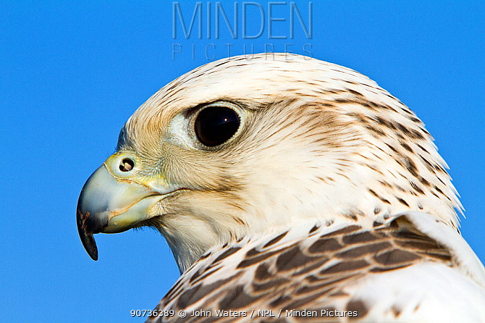 Gyrfalcon (Falco rusticolus) cross Saker falcon (Falco cherrug) adult female, captive bird, part bred with Saker falcon, Somerset, UK, January.