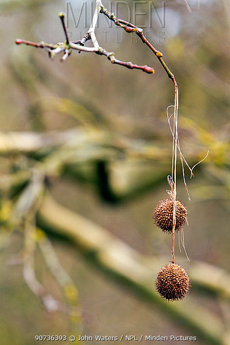 Seed balls of the London Plane tree (Platanus spp.) hanging from leafless twigs near Bristol, UK, March.