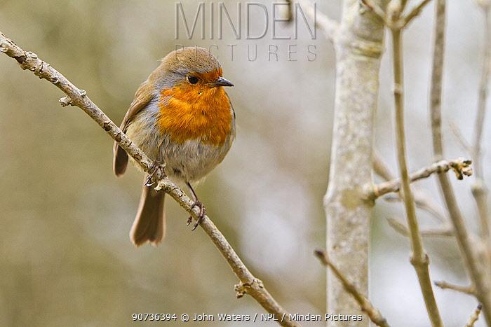 Robin (Erithacus rubecula) perched,  Bristol, UK, March.