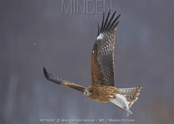 Black eared kite (Milvus migrans lineatus) in flight with catch, Hokkaido Japan.