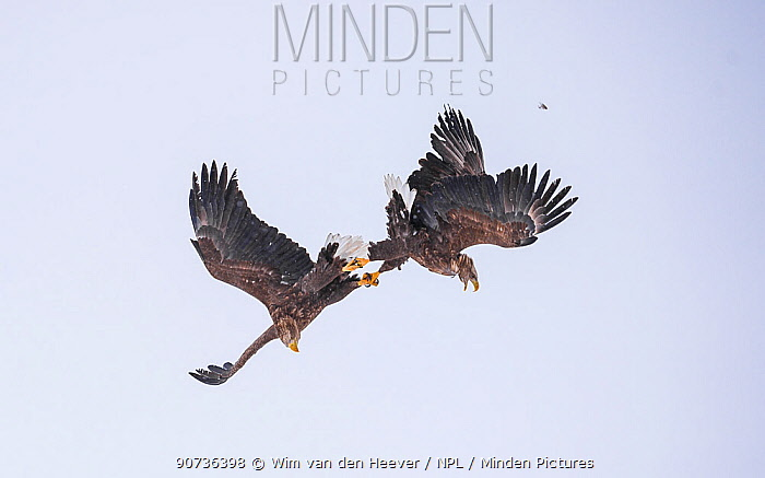 White-tailed eagles (Haliaeetus albicilla) two with locked talons fighting mid-air in a snow storm, Hokkaido Japan.
