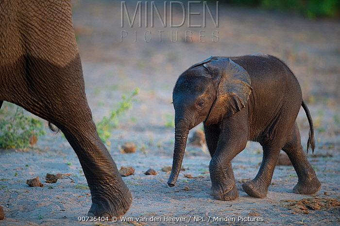 African elephant (Loxodonta africana) calf following its mother, Chobe river, Botswana.