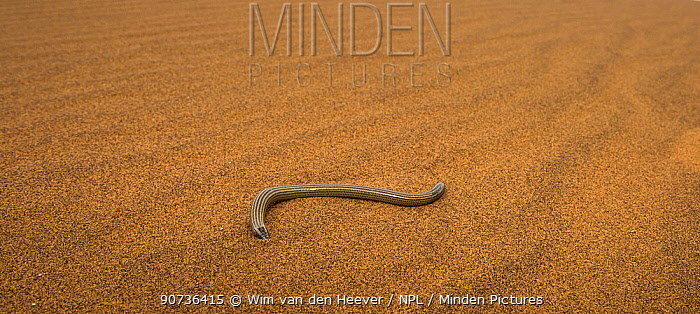 FitzSimons' burrowing skink (Typhlacontias brevipes) on a dune in the Namib Desert, Namibia