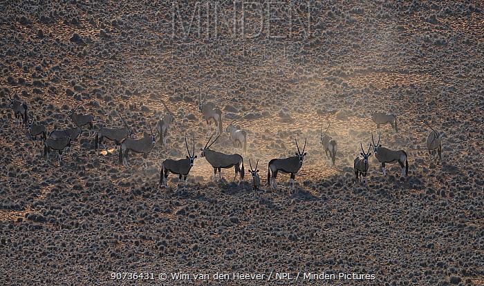 Gemsbok (Oryx gazella) aerial view of herd on dusty plain taken from a helicopter, Sossuvlei Namibia.