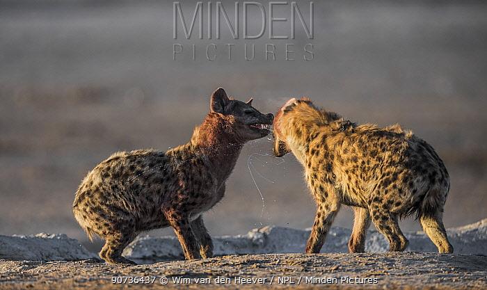 Spotted hyenas (Crocuta crocuta) in dispute at waterhole, after feeding on a carcass, Etosha National Park, Namibia