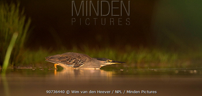 Green backed / Striated heron (Butorides striata) hunting low across water, Zimanga Private Game Reserve, South Africa.