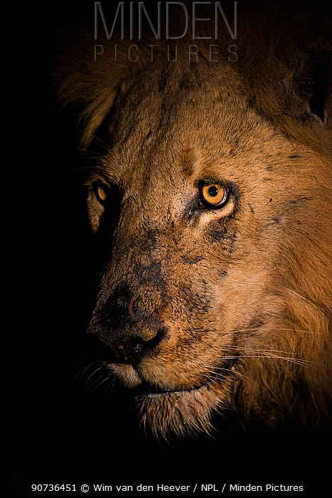 Lion (Panthera leo) male head portrait taken at night using a side lit spot light, Greater Kruger National Park, South Africa