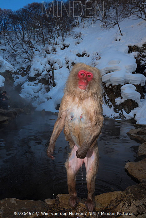 Japanese macaque (Macaca fuscata) still soaked from climbing out of the hot spring, Jigokudani, Nagano, Japan.