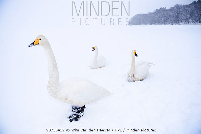 Whooper swans (Cygnus cygnus) sitting on frozen Lake Kussharo in a huge snow storm, Hokkaido Japan.