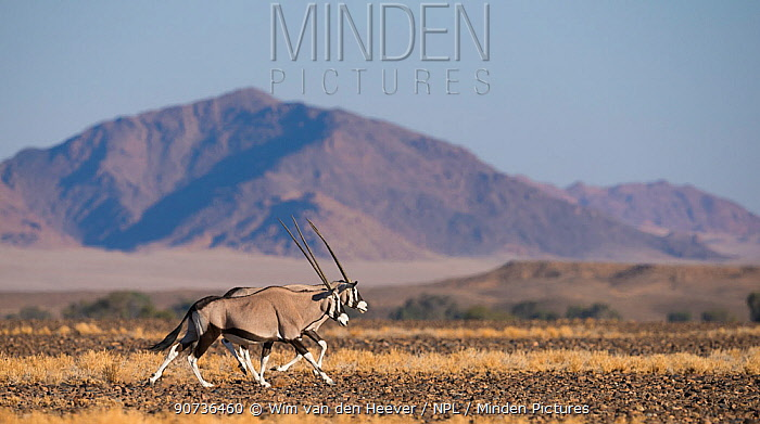 Gemsbok (Oryx gazella) two running side by side, Sossuvlei Namibia.