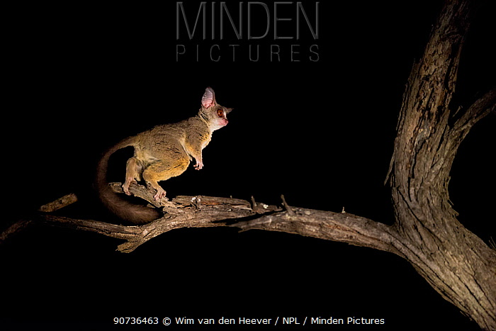 Minden Pictures stock photos - South African galago ...