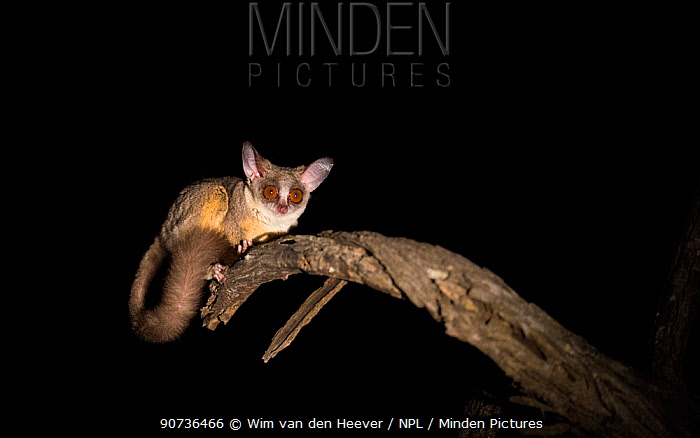 South African galago / Lesser bushbaby (Galago moholi) at night, with spot light, Greater Kruger National Park, South Africa.