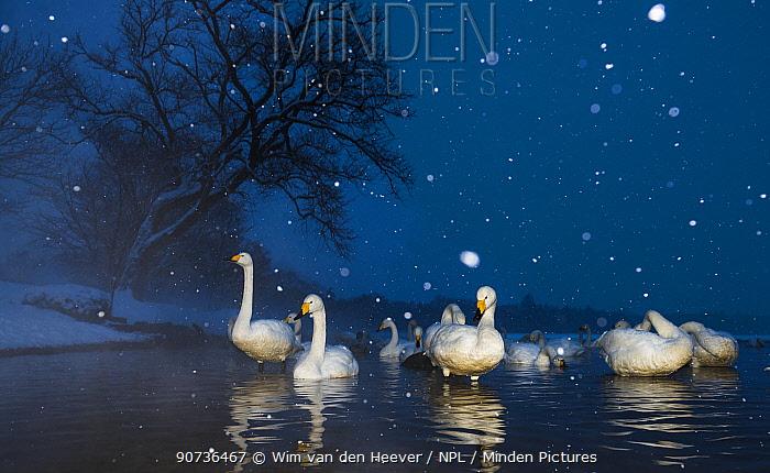 Whooper swans (Cygnus cygnus) early evening in a snow storm, Lake Kussharo, Hokkaido, Japan. Taken with remote camera.