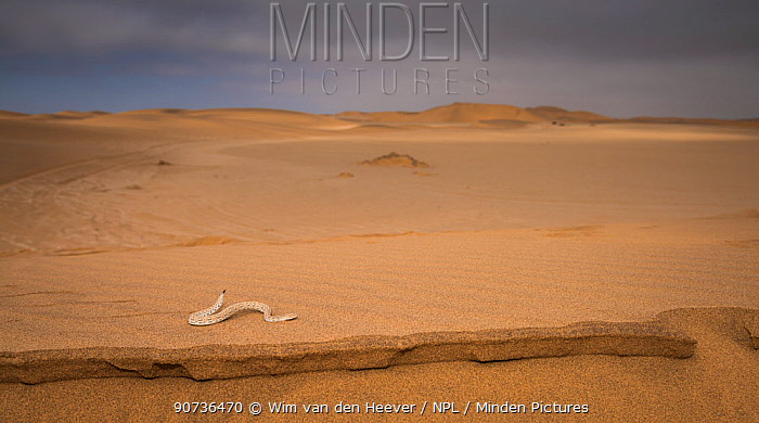 Sidewinder / Peringuey's adder (Bitis peringueyi) moving in characteristic sideway motion along sand dune, Namib Desert, Namibia.