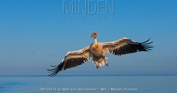 Great white pelican (Pelecanus onocrotalus) landing on water, Walvis Bay, Namibia.