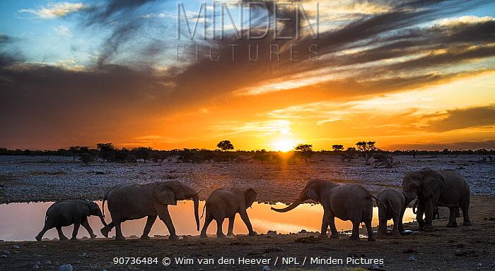 African elephants (Loxodonta africana) small herd at waterhole at sunset, Etosha National Park, Namibia