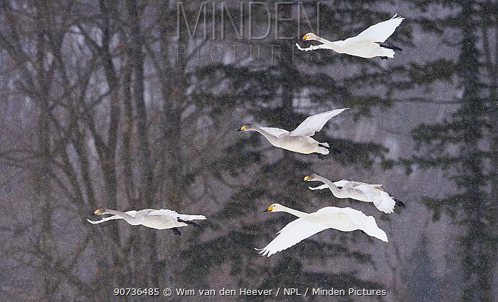 Whooper swans (Cygnus cygnus) small flock coming into land on open field in snow storm, Hokkaido Japan.
