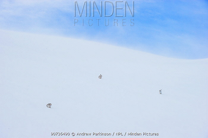 Mountain hare (Lepus timidus) three adults on a snow slope high in the Cairngorm Mountains, Cairngorms National Park, Scotland, UK, February. Finalist in the Mammals category of the  Wildlife Photographer of the Year Awards (WPOY) Competition 2016 and Commended in the GDT 2016 competition