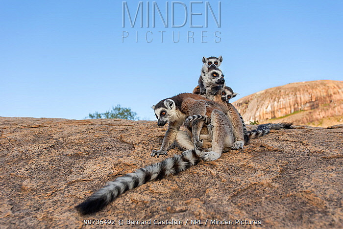Ring-tailed lemur (Lemur catta) mothers with young, Anjaha Community Conservation Site, near Ambalavao, Madagascar, October. Commended in Single Species Portfolio of the Terre Sauvage Nature Images Awards 2016.