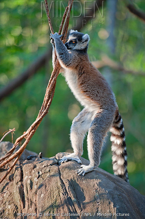 Ring-tailed Lemur (Lemur catta) territory marking, Anjaha Community Conservation Site, near Ambalavao, Madagascar. Commended in Single Species Portfolio of the Terre Sauvage Nature Images Awards 2016.