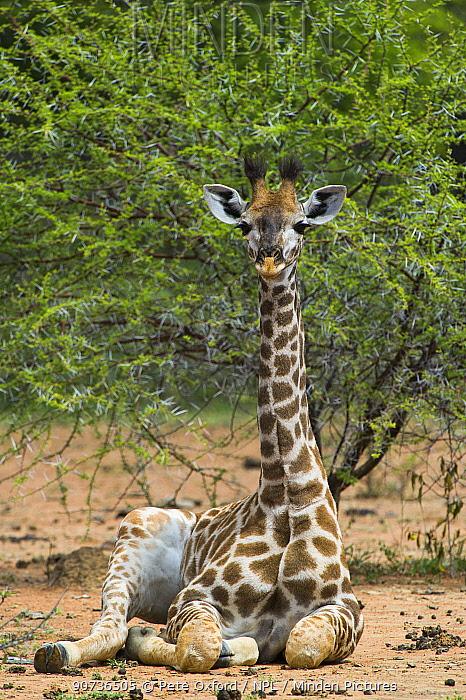Giraffe (Giraffa camelopardalis) sitting, Marakele Private Reserve, Waterberg Biosphere Reserve, Limpopo Province, South Africa, March.