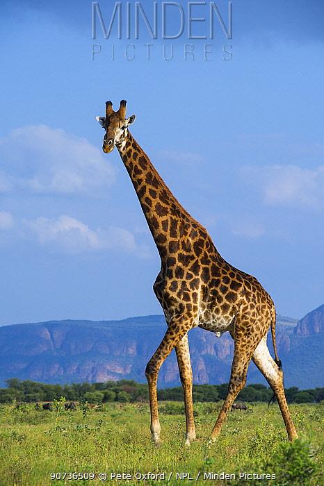 Giraffe (Giraffa camelopardalis) walking, Marakele Private Reserve, Waterberg Biosphere Reserve, Limpopo Province, South Africa, February.